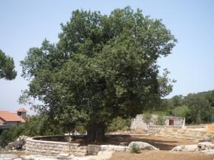 Le chêne multiséculaire (Ballouta) des Melki, nouvellement aménagé